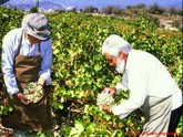 Collecting Grapes in Cyprus