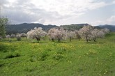 Almond trees in Cyprus